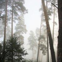 Туман  и  сосны... :: Валерия  Полещикова