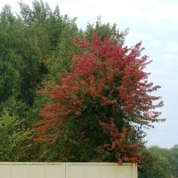 Осенняя краса. :: Надежда Акушко