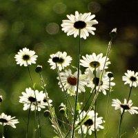 Никуда не спрятались, а цветут вдали. :: Владимир Гилясев