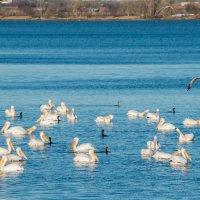 На местном озере зимуют пеликаны :: MVMarina