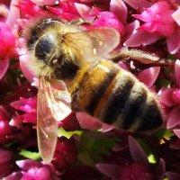 пчела на седуме :: Александр Прокудин