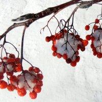 Зимняя ягода. :: Мила Бовкун