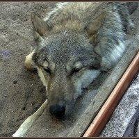 Волчица Тень :: Вера