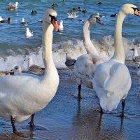 Лебеди на пляже :: Виктор Шандыбин