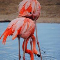 фламинго :: Августа