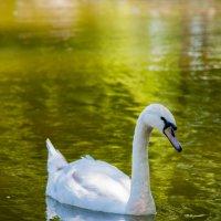 Белый лебедь. :: Игорь Ильиных