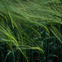 Пшеница :: Юлия Егорова