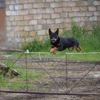Пастушеская собакак келпи. :: Сергей