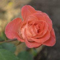 Роза :: Marina Timoveewa