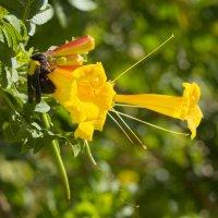 Шмелик и цветочек :: Александр Деревяшкин