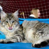 На выставке кошек :: Сергей Алексеев