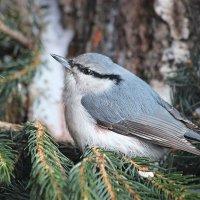 Птички Алтая :: И.В.К. ))