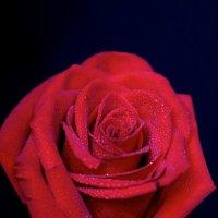роза :: Инна Гудова