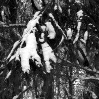 Зимняя ветка сосны :: Viktor Heronin