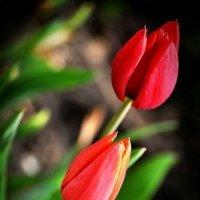 тюльпаны :: Time Trouble