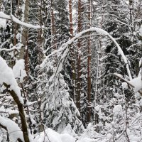 снег склонил молодое дерево :: Александр Прокудин