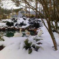 зимующие лебеди :: Александр Прокудин