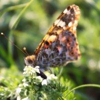 Бабочка :: Ольга Сельницына