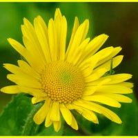Жёлтая ромашка (дороникум) :: Светлана Петошина