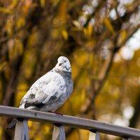 Задумчивый голубь :: Светлана Чуркина