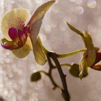 Утро орхидеи. :: Елена Куценко