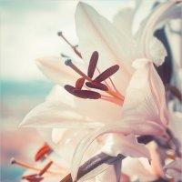 Снежные лилии :: Павел Корнеев
