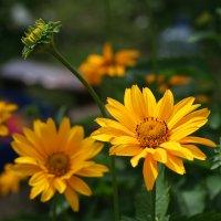 Солнечные цветы :: lady-viola2014 -