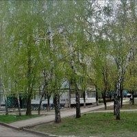 Берёзовый трепет апреля :: Нина Корешкова