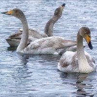 Танец маленьких лебедей :: Ольга Фролова