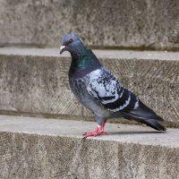 ...сизая голубка :: Waldemar .