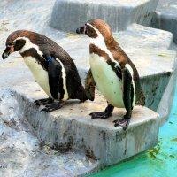 Пингвины Гумбольдта. :: Anna Gornostayeva