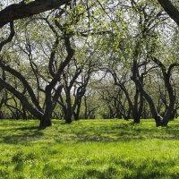 Яблоневый сад :: Александр Степанов