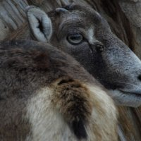 коза :: Юлия Денискина