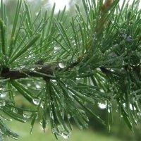 Ветка лиственницы сибирской после дождя :: Андрей