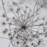 одуванчик зимой :: ovatsya /Ирина/ Никешина