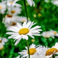 Белые ромашки :: Артем Коновалов