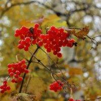 Калина-ягода :: Сергей Чиняев