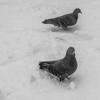 голуби :: Иван Синицарь
