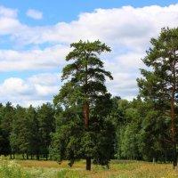 Шишкин лес :: Ольга Юртаева