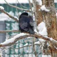 Ворона... :: Diana Sokol