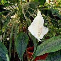 Украшением садов, сей цветок является... :: Mari Kush