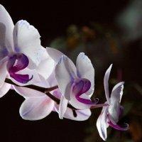 Орхидеи. :: Валерия  Полещикова