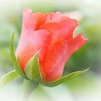 Бутон розы :: Swetlana V