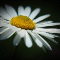 Цветок любви, невеста солнца... :: Swetlana V
