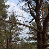 лес в районе Деулино (Рязанская область) :: Надежда Водорезова
