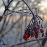 Калина зимой :: Людмила Якимова