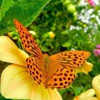 butterfly :: Nadezhda