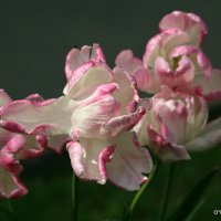 танец тюльпанов :: Олег Лукьянов