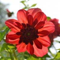 Цветок георгина освещенный солнцем :: Сергей Тагиров