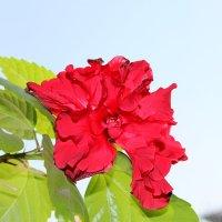 китайская роза :: Алла Лямкина